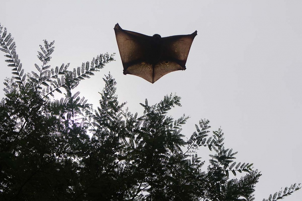 flying squirrel, perhentian
